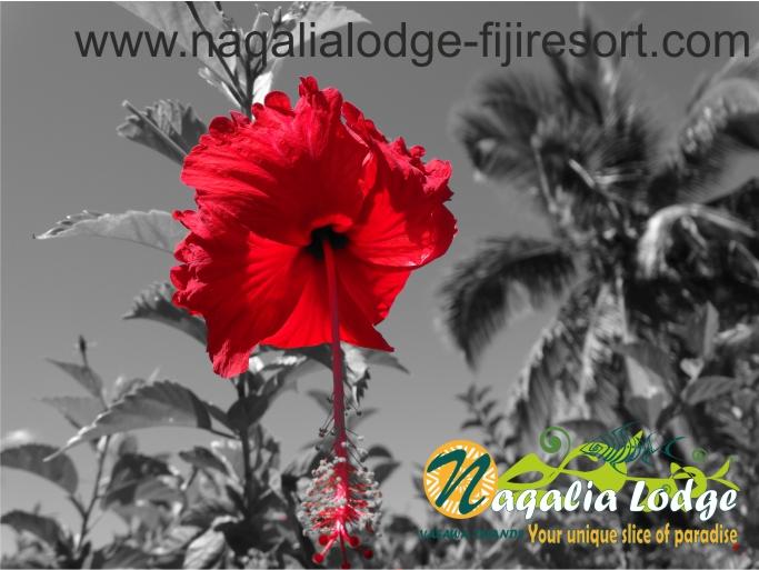 https://www.naqalialodge-fijiresort.com hibiscus at Naqalia Ldge Fiji