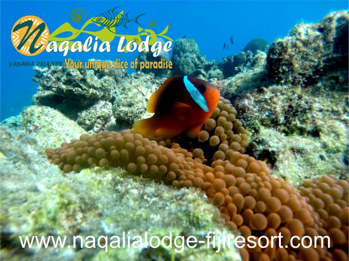 https://www.naqalialodge-fijiresort.com/wp-content/uploads/2014/07/Naqalia-Lodge-Yasawa-islands-Fiji-resort-clown fish-Octopus resort.