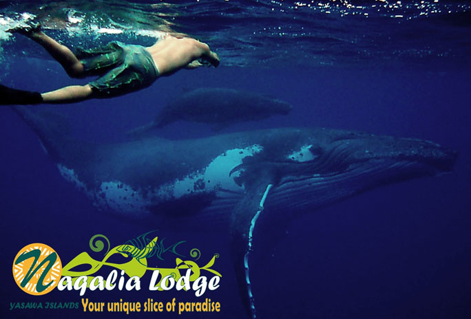 Naqalia Lodge Oceania Humpback Whales of Fiji